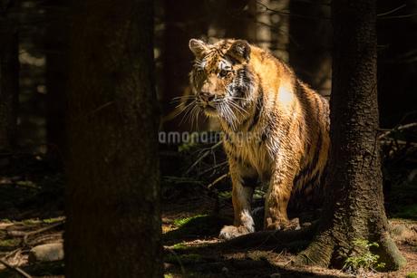 Tigerの写真素材 [FYI02348100]