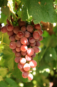 Grape,Chinaの写真素材 [FYI02348166]