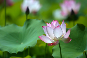 Close Up of lotusの写真素材 [FYI02348288]
