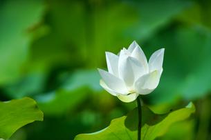 Close Up of lotusの写真素材 [FYI02348325]