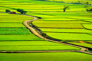 Overview of the Rice Fieldsの写真素材 [FYI02348333]
