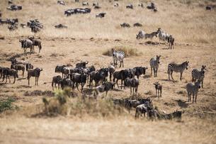 Animal corwd together in the Amboseli National Park; Kenya; Africaの写真素材 [FYI02348420]