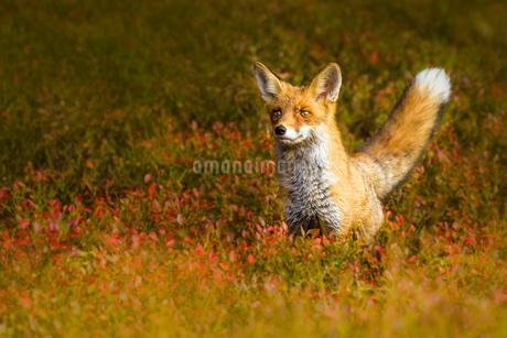 foxの写真素材 [FYI02348442]