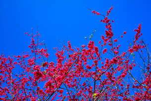 Cherry Blossom against the clear blue sky; in Wanda power plant Taiwanの写真素材 [FYI02348469]