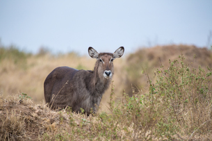 White-Tailed Deer in the Amboseli National Park; Kenya; Africaの写真素材 [FYI02348488]