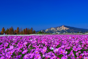 Overview of Cosmos Flower Farmの写真素材 [FYI02348566]