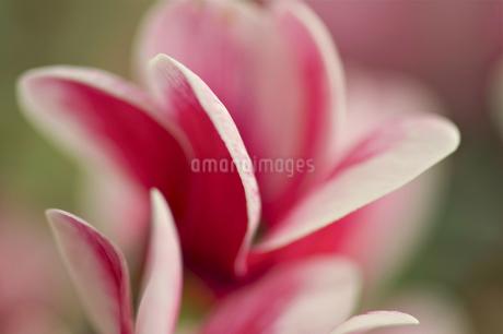 Cyclamen;Persian violetsの写真素材 [FYI02348616]