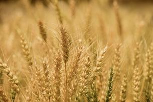 barley fields;Seoulの写真素材 [FYI02348740]