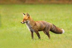 foxの写真素材 [FYI02348826]