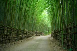 Bamboo Forest path in Taian; Miaoli; Taiwanの写真素材 [FYI02348829]
