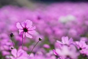 Close up of pink Cusmosの写真素材 [FYI02348845]