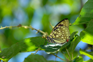 Close up of the butterfly stands on the leaveの写真素材 [FYI02348846]