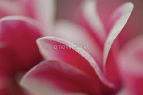 Cyclamen;Persian violets;Singaporeの写真素材 [FYI02348985]