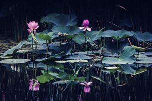 Night in lotus pondの写真素材 [FYI02349122]