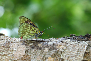 Close up of the butterfly stands on the woodの写真素材 [FYI02349180]