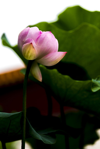 Lotus,Chinaの写真素材 [FYI02349202]