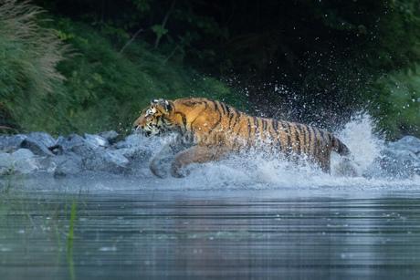 Tigerの写真素材 [FYI02349236]