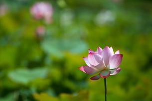 Close Up of lotusの写真素材 [FYI02349303]