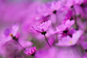 Close up of pink Cusmosの写真素材 [FYI02349399]