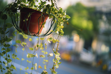 Weeping willows in the windの写真素材 [FYI02349436]