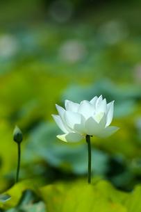 Close Up of lotusの写真素材 [FYI02349442]