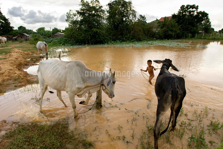 """Nude children taking a bath with the cows near the monument of """"Killing Fields of Choeung Ek."""" Phnomの写真素材 [FYI02349517]"""