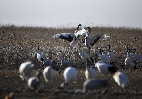 Yancheng, Jiangsu: Red-crowned Cranes in the Morningの写真素材 [FYI02349820]