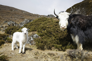 animals in mountain of Nepalの写真素材 [FYI02350002]