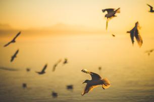 Seagull in Kunming, Yunnan, Chinaの写真素材 [FYI02350037]