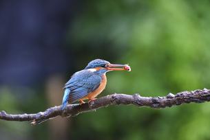 Common Kingfisher,Alcedo atthisの写真素材 [FYI02350056]