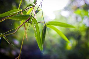 Bamboo leafの写真素材 [FYI02350077]