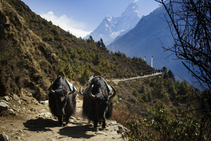 animals in the mountain of Nepalの写真素材 [FYI02350107]