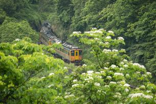 Pingxi,Tung Blossom flowers,trainの写真素材 [FYI02350123]