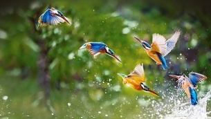 hummingbird, Kunming, Yunnan, Chinaの写真素材 [FYI02350170]