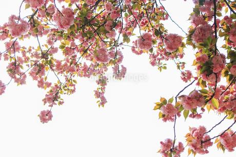 Cherry blossomsの写真素材 [FYI02350224]
