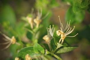 Honeysuckle Plantationの写真素材 [FYI02350307]
