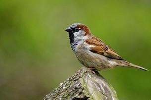 Close up of House sparrow, Kunming, Yunnan, Chinaの写真素材 [FYI02350464]