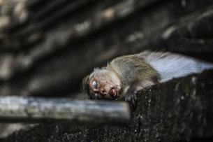 Monkeys in the Old City of Polonanovo,Chinaの写真素材 [FYI02350551]