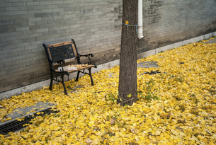 Empty Chair at the park with the leave of ginkgoの写真素材 [FYI02350560]