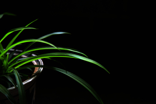 Spider plant on the black backgroundの写真素材 [FYI02350735]