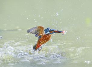Common Kingfisher,Alcedo atthisの写真素材 [FYI02350800]