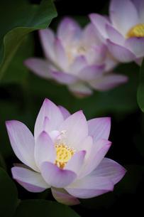 Lotusの写真素材 [FYI02350858]