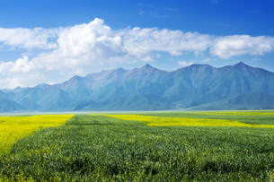 Rapeseed Flowers under Blue Sky and White Cloud,Chinaの写真素材 [FYI02350859]