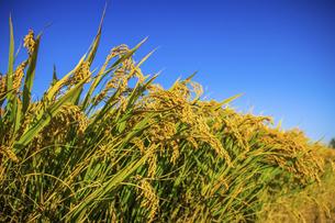 riceの写真素材 [FYI02350911]