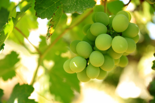 Close up of Green Grape, Tulufan, Xinjiang, Chinaの写真素材 [FYI02350941]