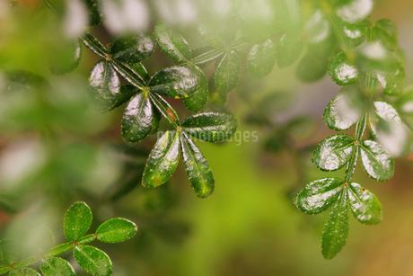 leafの写真素材 [FYI02351107]