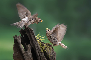 Mother House sparrow feeds her baby, Kunming, Yunnan, Chinaの写真素材 [FYI02351130]