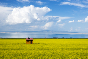 Rapeseed Flowers by Qinghai Lake,Chinaの写真素材 [FYI02351187]