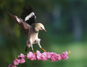 Red-billed starling, Kunming, Yunnan, Chinaの写真素材 [FYI02351353]
