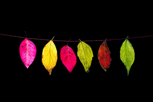 Colorful leave on the black backgroundの写真素材 [FYI02351426]